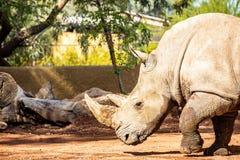 Ny noshörning på den Phoenix Arizona zoo Royaltyfri Fotografi