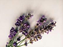 Ny och härlig purpurfärgad lavendel blommar på den delikata vita bakgrunden Royaltyfri Fotografi
