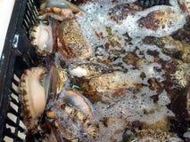 Ny och levande abalone som säljs i den havs- marknaden Fotografering för Bildbyråer