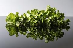 Ny och lockig grön letucce Fotografering för Bildbyråer