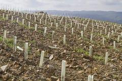 Ny odling av en vingård arkivfoto