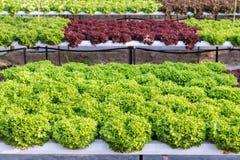 Ny organisk grön grönsaksallad i hydrokulturväxthuslantgården för hälsokost- och jordbrukbegreppsdesign royaltyfria bilder