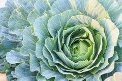 Ny organisk grön grönsallatgrönsaksallad i lantgården för hälso-, mat- och jordbrukbegreppsdesign Royaltyfri Bild