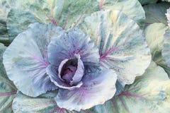 Ny organisk grön grönsallatgrönsaksallad i lantgården för hälso-, mat- och jordbrukbegreppsdesign Royaltyfri Foto