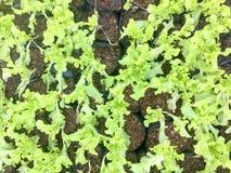 Ny organisk lantgård för grönsak för maskrosgräsplansallad naturlig matbakgrund för rå sunda veggies Top beskådar Arkivfoton