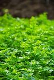Ny organisk persilja i trädgården örtar för fjärdcardamonvitlök blad vanilj för kryddor för pepparrosmarinar salt Arkivfoto