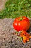 Ny organisk tomat med blomman på stubben Arkivbild