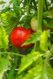 Ny organisk tomathängning på en filial Royaltyfri Bild
