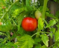 Ny organisk tomathängning på en filial Arkivbilder