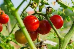 Ny organisk tomathängning på en filial Fotografering för Bildbyråer