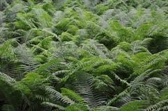 Ny ormbunke (marattiaceae) i skuggan av stora träd i skogen Arkivfoto