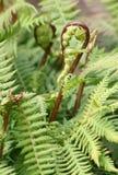 Ny ormbunkeormbunksblad som uncurling Arkivbild