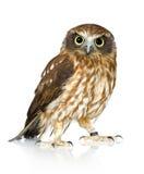 ny owl zealand Royaltyfri Bild