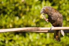 ny papegoja zealand för kaka Arkivbild