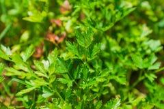 ny parsley Arkivfoto