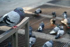 NY Pigeons. New York City detail stock image