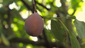 Ny plommon på trädet arkivfilmer