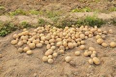 Ny potatis på en sätta in. Arkivfoto