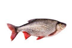Ny rå fisk som isoleras på vit bakgrund, snabb bana Arkivbild