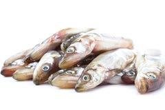 Ny rå havsfisk på den vita bakgrundscloseupen Royaltyfri Fotografi