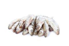 Ny rå havsfisk på vit bakgrund Royaltyfria Foton