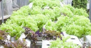 Ny röd ek och grön ek i hydrokulturlantgård royaltyfria bilder