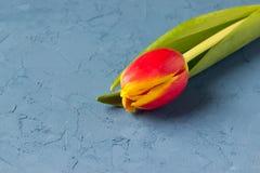 Ny röd-guling tulpan Arkivbild