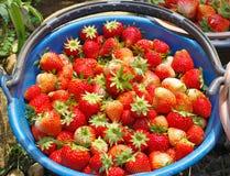 Ny röd jordgubbe Arkivbild