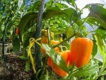 Ny röd söt peppar för Closeup i ett växthus arkivbilder