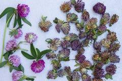 Ny röd växt av släktet Trifolium för att torka och torr växt av släktet Trifolium på en neutral grå färgbac Royaltyfria Foton