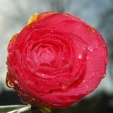 ny red för blomma Royaltyfri Bild