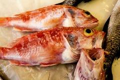 ny red för fisk Royaltyfria Bilder