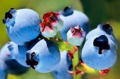ny ripening för blåbärbuske Royaltyfri Fotografi