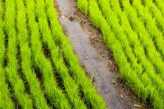 Ny ny risfält i den Bali ön royaltyfri foto
