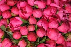 Ny rosa bakgrund för pionblommatextur Royaltyfri Fotografi