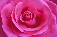 Ny rosa färgros med öppen kronbladnärbild fotografering för bildbyråer