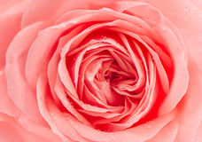 Ny rosa färgrosblomma med vattendroppar Royaltyfria Bilder