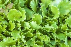 Ny salladgrönsallatgräsplan lämnar närbild, upp sikt Arkivbild