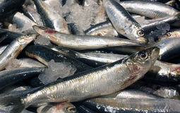 Ny sardin på en marknad i Italien Royaltyfri Foto