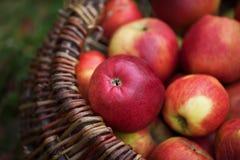 Ny skörd av äpplen Arbeta i trädgården för höst Begreppsmässigt skörddiagram med olika grönsaker på fältet Arkivbilder
