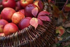 Ny skörd av äpplen Arbeta i trädgården för höst Begreppsmässigt skörddiagram med olika grönsaker på fältet Royaltyfri Foto