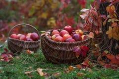 Ny skörd av äpplen Arbeta i trädgården för höst Begreppsmässigt skörddiagram med olika grönsaker på fältet Arkivfoton