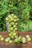 Ny skörd av krusbär i ett exponeringsglas royaltyfri foto