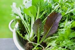 Ny skörd av nya organiska blandningsalladsidor med mizuna-, grönsallat-, pakchoi-, tatsoi-, grönkål-, spenat- och bladsenap Fotografering för Bildbyråer