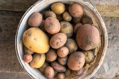 Ny skörd av organiskt fullvuxna potatisar Sund enkel mat arkivfoto