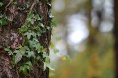Ny skogträdstam med murgrönan arkivfoton