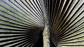 Ny sockerpalmblad fotografering för bildbyråer