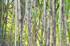 Ny sockerrör i trädgård Arkivfoto