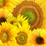 Ny solrosbakgrund Royaltyfria Foton