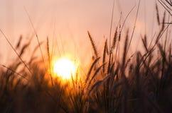 Soluppgång på blommagräs Arkivbild